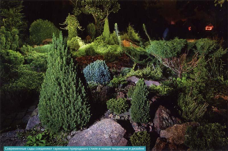 Пихта корейская сильберлок в дизайне сада фото