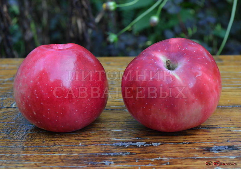 яблоня алое раннее описание фото
