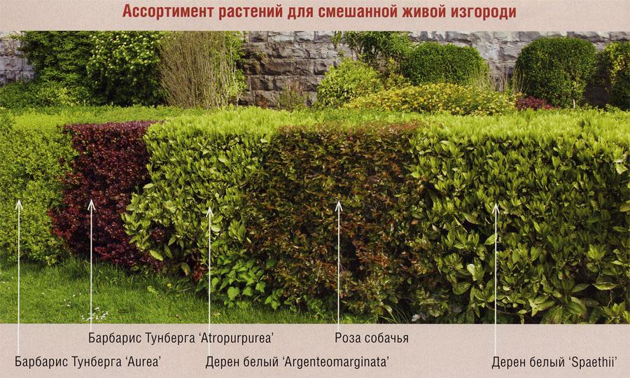 Живая изгородь и топиарная стрижка растений