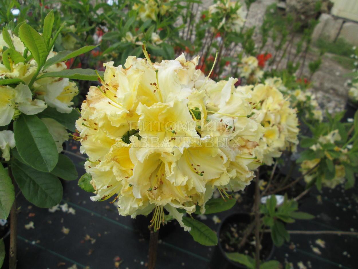 Рододендрон листопадный азалия