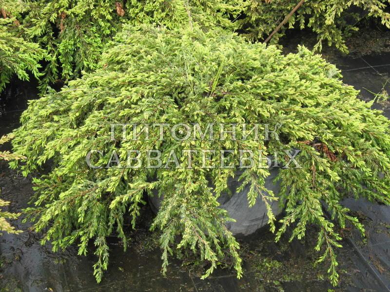 Обыкновенный репанда juniperus communis