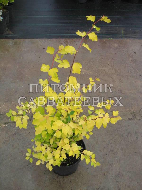 Spiraea Vanhouttei Gold Fountain Spiraea x Vanhouttei 39 Gold