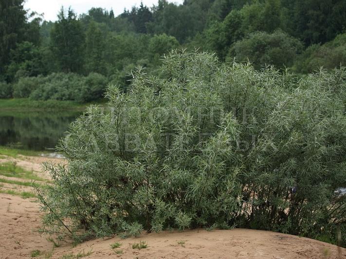 Ива прутовидная - Salix viminalis - Каталог-магазин деревьев в ...