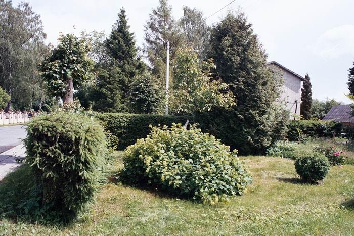 Изгородь из ели обыкновенной